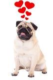 Concetto di amore - seduta amichevole del cane del carlino isolata su bianco con la h Immagine Stock
