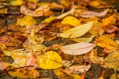 Concetto di autunno Fondo di caduta Foglie variopinte di caduta di autunno come fondo Insieme delle foglie autunnali di vari albe Fotografia Stock