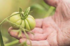Concetto di azienda agricola e di giardinaggio di agricoltura, Dettaglio della mano corrugata dell'uomo che tiene pomodoro verde  Fotografie Stock Libere da Diritti