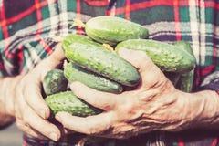 Concetto di azienda agricola e di giardinaggio di agricoltura, Il dettaglio dell'uomo corrugato passa i cetrioli della tenuta all Fotografie Stock