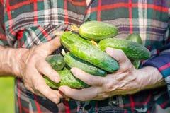 Concetto di azienda agricola e di giardinaggio di agricoltura, Il dettaglio dell'uomo corrugato passa i cetrioli della tenuta all Immagine Stock