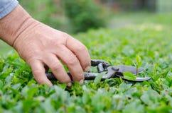 Concetto di azienda agricola, di giardinaggio, di agricoltura, del raccolto e della gente - mani dell'agricoltore senior con le c Immagine Stock
