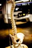 Concetto di biologia con la condizione di scheletro sulla tavola Laboratorio con gli organi e gli scheletri immagine stock libera da diritti