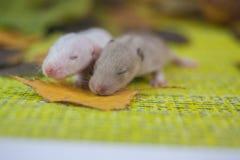 Concetto di cecità I topi con gli occhi si sono chiusi Primo piano dei ratti dei cuccioli fotografia stock