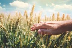 Concetto di difesa delle colture con l'agricoltore che tocca le orecchie verdi del grano fotografia stock libera da diritti
