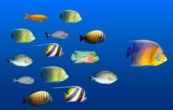 Concetto di direzione - grande piombo dei pesci Immagine Stock