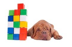 Concetto di formazione - cane con i cubi della costruzione immagini stock