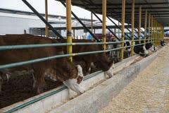 Concetto di industria, di azienda agricola e di zootecnia di agricoltura - gregge delle mucche che mangiano fieno in stalla Fotografie Stock