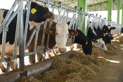 Concetto di industria, di azienda agricola e di zootecnia di agricoltura - gregge delle mucche che mangiano fieno in stalla Fotografia Stock