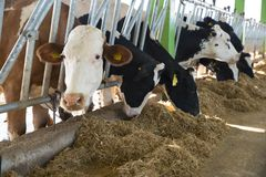 Concetto di industria, di azienda agricola e di zootecnia di agricoltura - gregge delle mucche che mangiano fieno in stalla Fotografie Stock Libere da Diritti
