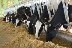 Concetto di industria, di azienda agricola e di zootecnia di agricoltura - gregge delle mucche che mangiano fieno in stalla Immagini Stock Libere da Diritti