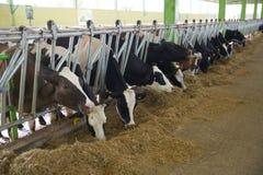 Concetto di industria, di azienda agricola e di zootecnia di agricoltura - gregge delle mucche che mangiano fieno in stalla Fotografia Stock Libera da Diritti