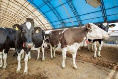 Concetto di industria, di azienda agricola e di zootecnia di agricoltura - gregge delle mucche che mangiano fieno in stalla sull' Immagini Stock