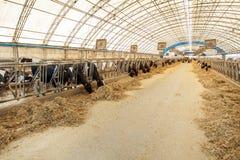 Concetto di industria, di azienda agricola e di zootecnia di agricoltura - gregge delle mucche che mangiano fieno in stalla sull' Immagine Stock Libera da Diritti