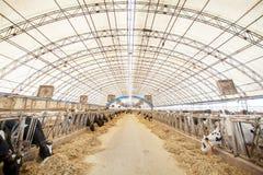 Concetto di industria, di azienda agricola e di zootecnia di agricoltura - lei Fotografie Stock