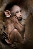 Ritratto di piccola scimmia del bambino Immagini Stock