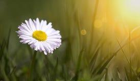 Concetto di primavera - fiore della margherita bianca in erba verde Immagine Stock Libera da Diritti