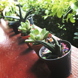 Concetto di Vera Growing Botany Nature Environmental dell'aloe Fotografia Stock Libera da Diritti