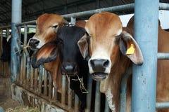 Concetto di zootecnia e di azienda agricola Fotografie Stock