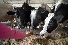Concetto e del gente di zootecnia - mucca di alimentazione manuale dell'agricoltore con fieno in stalla all'azienda lattiera immagini stock