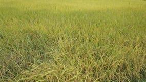 Concetto naturale dell'azienda agricola di verde del raccolto del giacimento del riso Fotografia Stock Libera da Diritti