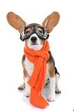 Concetto per l'aviatore dell'animale domestico di vacanza o di viaggio Fotografie Stock