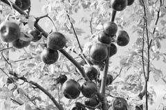 Concetto ricco del raccolto Frutti maturi rossi delle mele sul fondo del cielo del ramo Stagione di caduta di raccolta delle mele fotografie stock libere da diritti