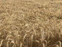 Concetto stagionale naturale giallo dorato di agricoltura del fondo del giacimento di grano Fotografia Stock