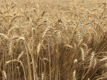Concetto stagionale naturale giallo dorato di agricoltura del fondo del giacimento di grano Immagini Stock