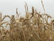 Concetto stagionale naturale giallo dorato di agricoltura del fondo del giacimento di grano Immagine Stock Libera da Diritti
