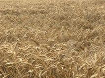Concetto stagionale naturale giallo dorato di agricoltura del fondo del giacimento di grano Immagine Stock