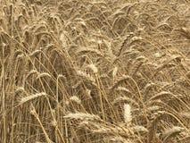Concetto stagionale naturale giallo dorato di agricoltura del fondo del giacimento di grano Fotografie Stock