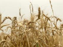 Concetto stagionale naturale giallo dorato di agricoltura del fondo del giacimento di grano Immagini Stock Libere da Diritti
