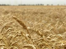 Concetto stagionale naturale giallo dorato di agricoltura del fondo del giacimento di grano Fotografia Stock Libera da Diritti