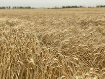 Concetto stagionale naturale giallo dorato di agricoltura del fondo del giacimento di grano Fotografie Stock Libere da Diritti