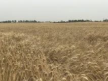 Concetto stagionale naturale giallo dorato di agricoltura del fondo del paesaggio del giacimento di grano Fotografie Stock