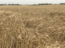 Concetto stagionale naturale giallo dorato di agricoltura del fondo del paesaggio del giacimento di grano Immagine Stock Libera da Diritti