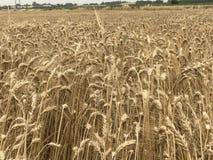 Concetto stagionale naturale giallo dorato di agricoltura del raccolto di festa dello shavuot del fondo del paesaggio del giacime Fotografia Stock