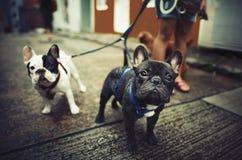 Concetto sveglio canino del bulldog francese del bambino Fotografie Stock