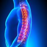 Concetto toracico di dolore di anatomia della spina dorsale Fotografia Stock