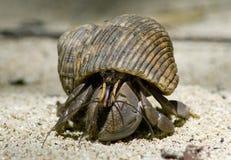 conch ερημίτης καβουριών του Στοκ Φωτογραφίες
