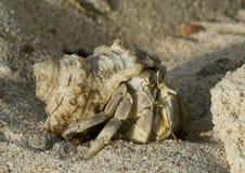 conch ερημίτης καβουριών του Στοκ Εικόνες