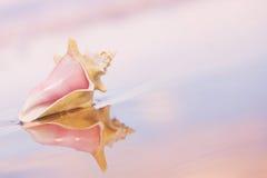 conch κοχύλι Στοκ εικόνα με δικαίωμα ελεύθερης χρήσης