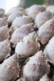 conch κοχύλι Στοκ Εικόνες