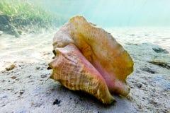 conch κοχύλι στοκ φωτογραφία με δικαίωμα ελεύθερης χρήσης