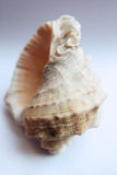 Conch Royalty Free Stock Images