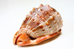 Conch Royalty Free Stock Photos