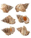 Conch Fotografia de Stock Royalty Free