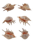 Conch Royalty Free Stock Photography