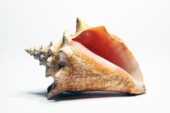 conch Στοκ Φωτογραφίες